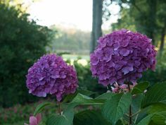 hydrangea macrophylla care instructions